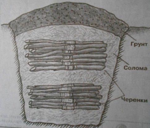 Хранить черенки зимой можно в траншее на приусадебном участке