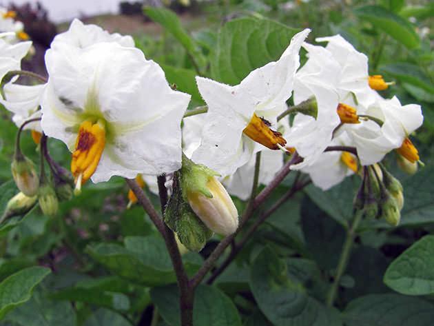 Картофель «Розалинд» характеризуется восприимчивостью к возбудителю фитофтороза по ботве и клубням