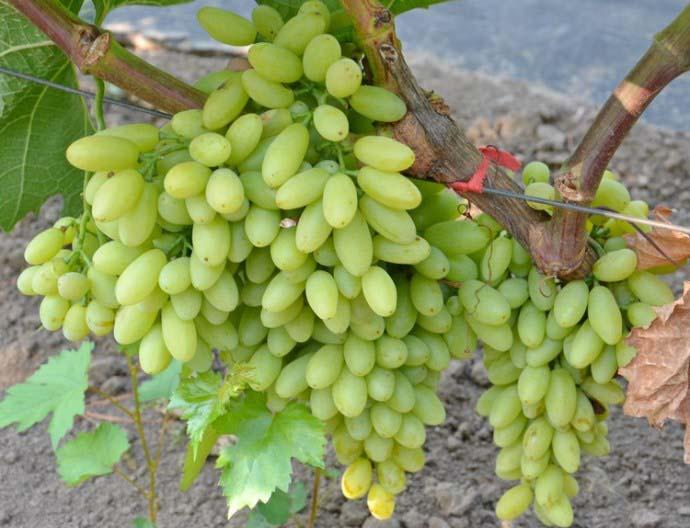 Виноград «Столетие» устойчив ко многим заболеваниям