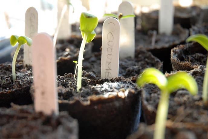 Огурцы «Эколь-f1» при выращивании рассадным способом быстрее вступают в плодоношение и обильнее плодоносят