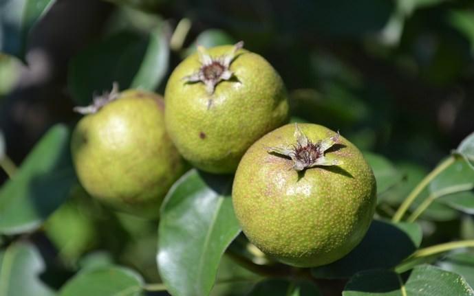 Важно оставлять на одной ветви не более трех груш – для мелкоплодных сортов