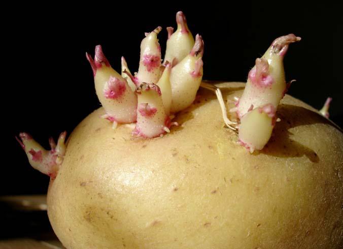 Перед посадкой картофельные клубни сорта «Молли» проращиваются