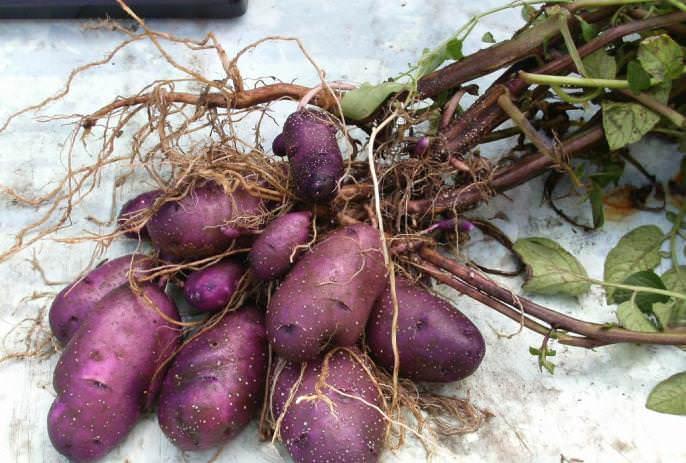 У картофеля «Голубой Дунай» отмечается высокая и стабильная урожайность