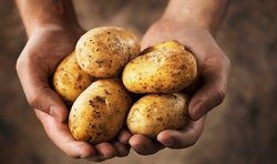 Картофель «Янка» – высокоурожайный сорт