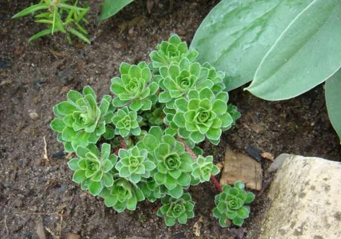 Метод деления куста используют для омоложения старых растений камнеломки