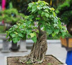 Фикус Священный – старейшее дерево среди подобных растений
