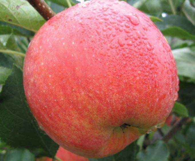 Яблоки сорта «Чемпион» характеризуются крупными размерами