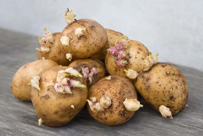Выращивать картофель «Реванш» можно несколькими способами