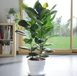 Фикус – вечнозеленое растение
