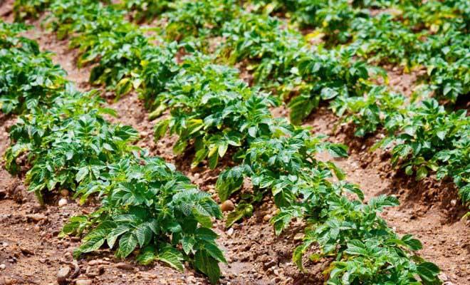 Картофельные посадки следует содержать в максимальной чистоте, проводя своевременные прополки