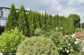 Живая изгородь – виды и секреты посадки!