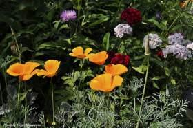 Калифорнийский мак или эшшольция – яркий нюанс летнего сада!