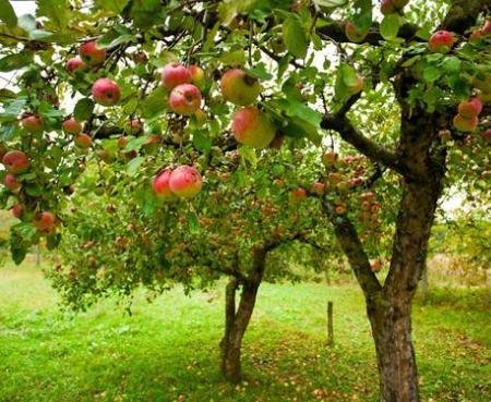 Пломбирование дупла яблони: пошаговая инструкция
