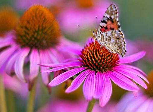 Эхинацея – лечебный цветок