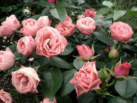 Роза Флорибунда  - посадка и уход