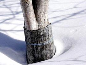 Способ защиты плодовых деревьев от грызунов