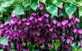 Родохитон – пурпурный колокол