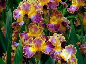 Первоцветы. Весна в цветнике. Цветник в солнечных тонах