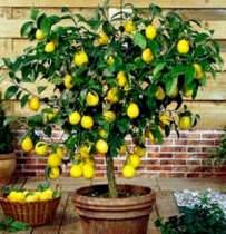 Лимон от А до Я: посадка, уход, размножение