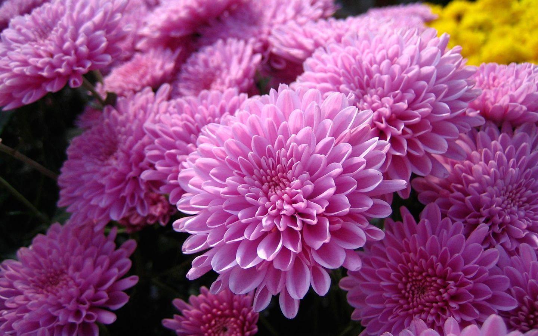 Хризантема - как посадить и как ухаживать