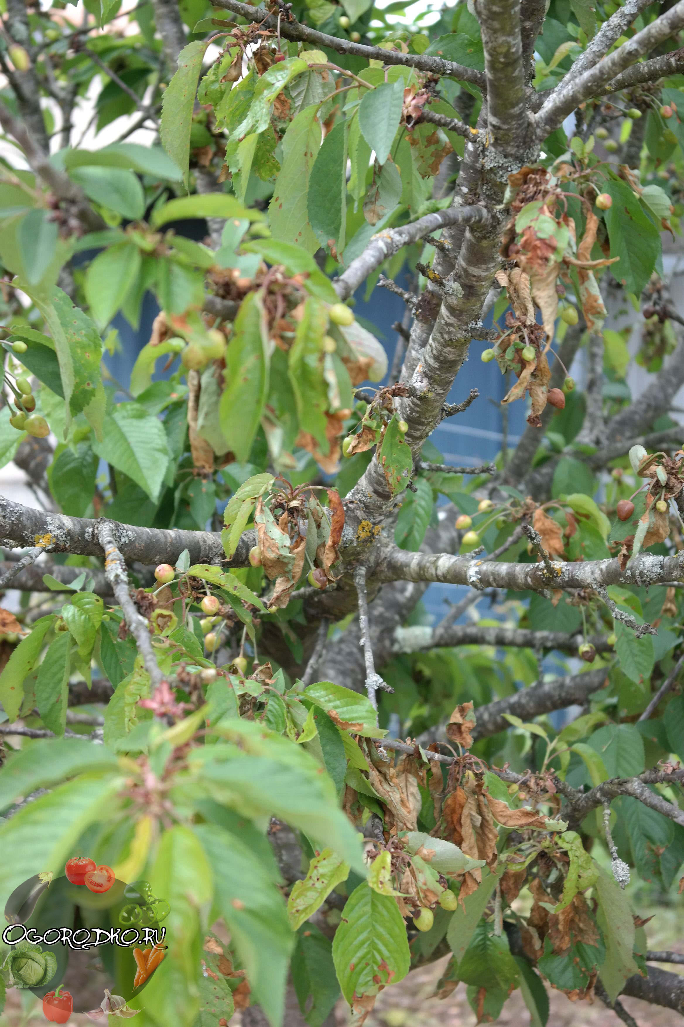 Как лечить абрикос и персик от монилиоза в Крыму