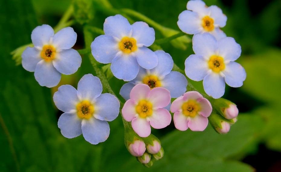 Может ли на одном растении незабудки быть цветки разного цвета?