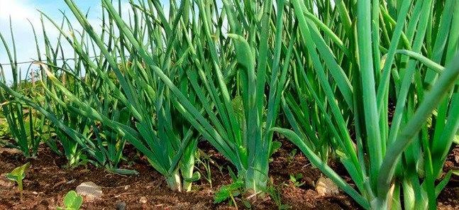 Не растет зеленый лук.