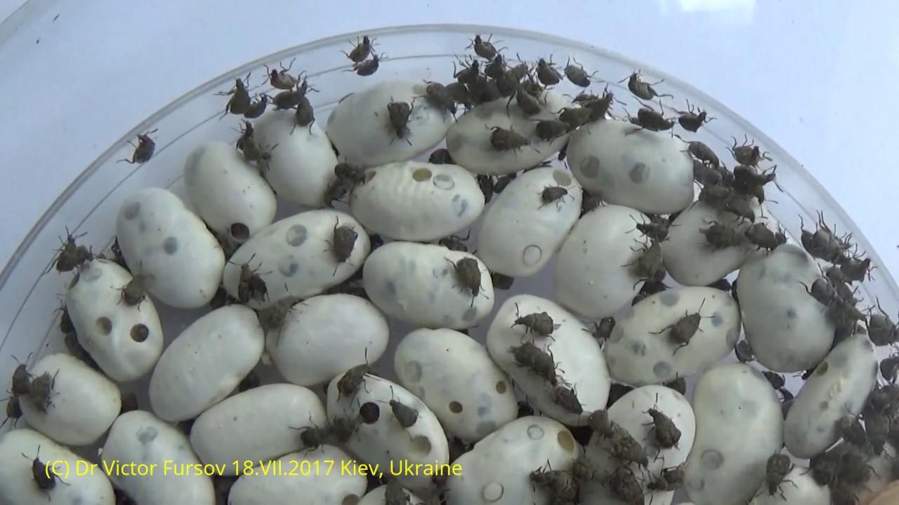 Борьба с вредителями фасоли и гороха