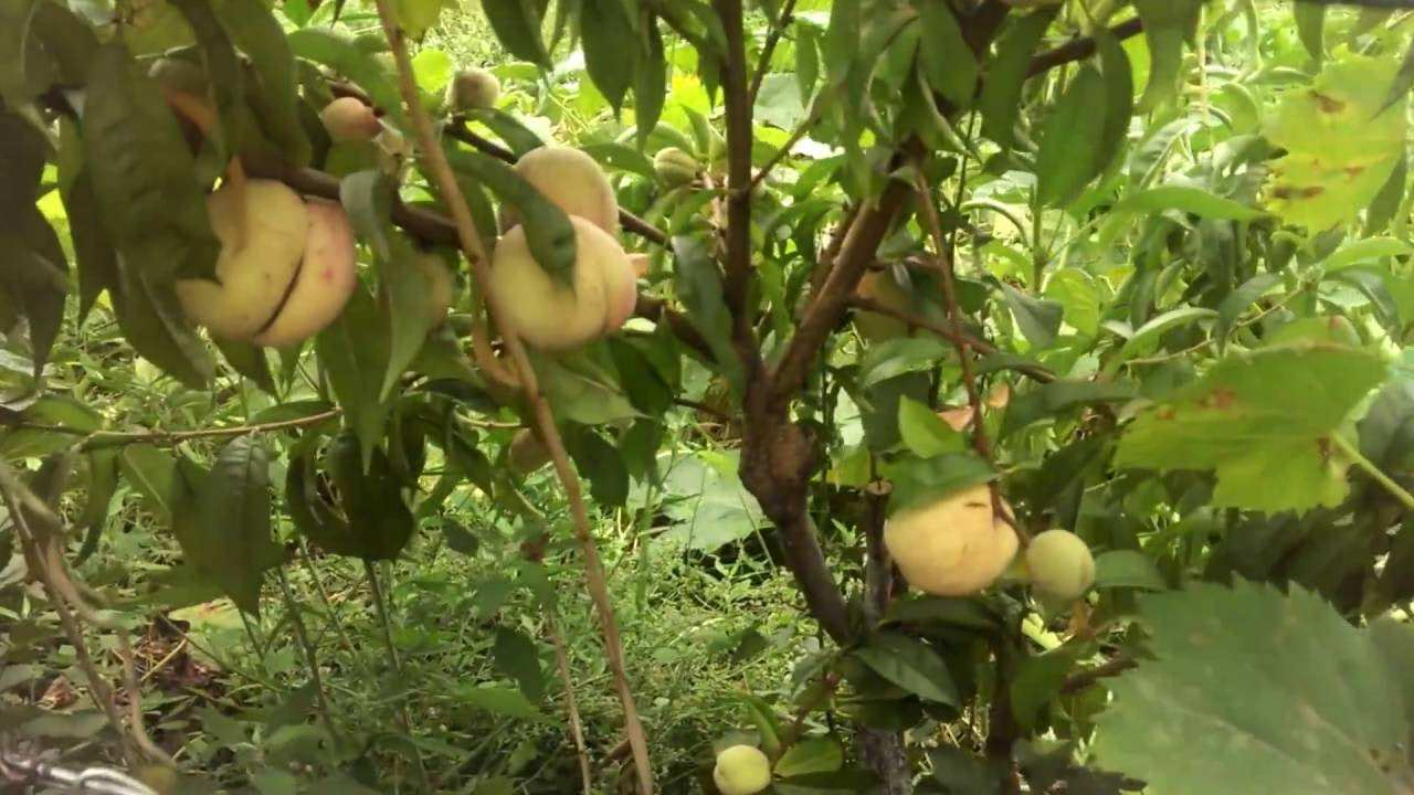 Когда и как делать прививку абрикоса