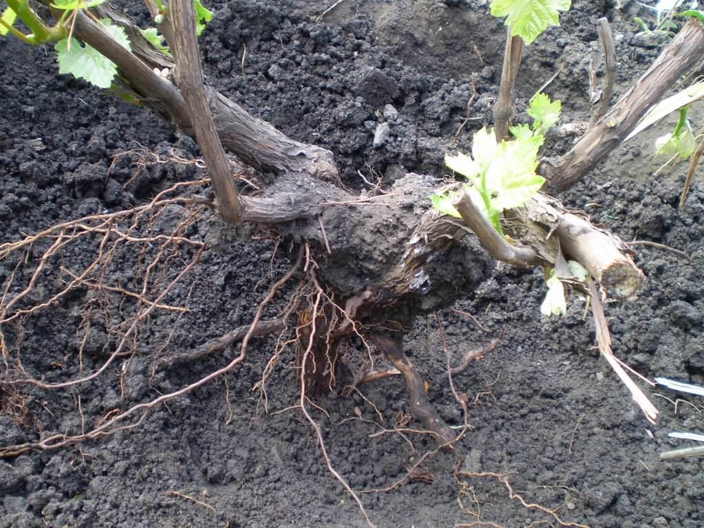 Как сохранить выкопанный куст винограда до весны?
