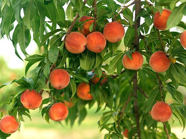 Как правильно осуществлять уход за персиком
