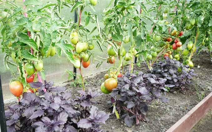 Запах базилика не переносят гусеницы, являющиеся основным вредителем для томатов