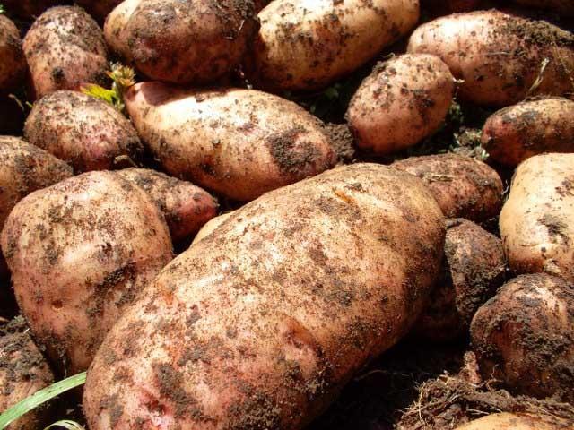 Картофель «Лапоть» культивируется на территории нашей страны очень давно