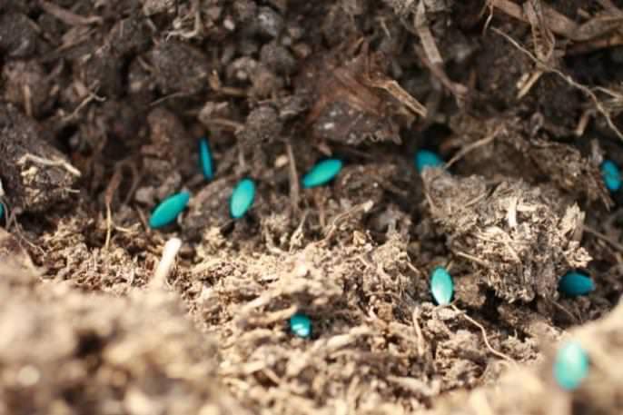 Семена сорта «Амур f1», предварительно прошедшие все этапы предпосевной подготовки, в грунт высеваются в начале мая