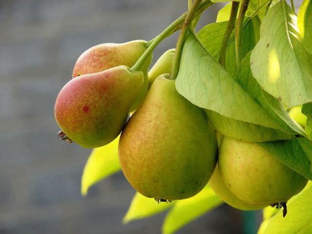 Плодоносить грушевое дерево начинает в возрасте от 6 лет