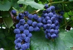Виноград «Загадка Шарова» относится к сверхранним сортам
