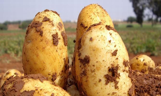 Показатели выхода товарных картофельных клубней сорта «Уладар» достигают 94 % от общего объема собранного урожая