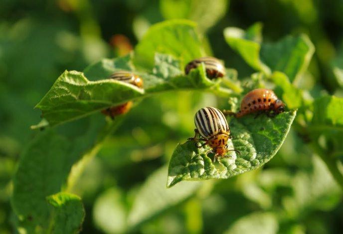 В течение сезона осуществляется несколько обработок посадки картофеля «Уладар» от основных вредителей