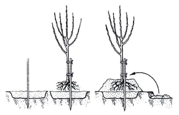 Яблони могут быть высажены дважды в год – рано весной и осенью