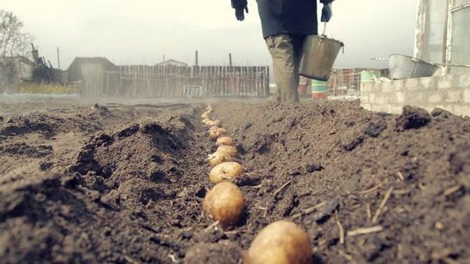Картофель высаживают после того, как температура грунта на глубине 10 см устанавливается в пределах десяти градусов тепла