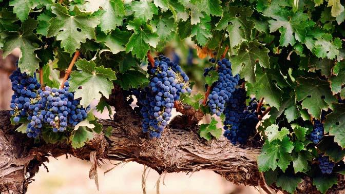 Виноград «Изабелла» имеет повышенную устойчивость поражения милдью, оидиумом