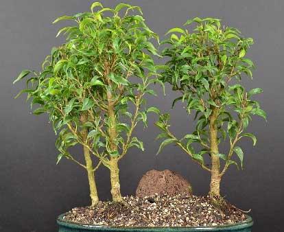 Ficus Pandora