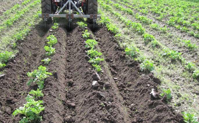 Одним из наиболее важных мероприятий, которые требуются картофелю в начальный период развития, является проведение окучивания