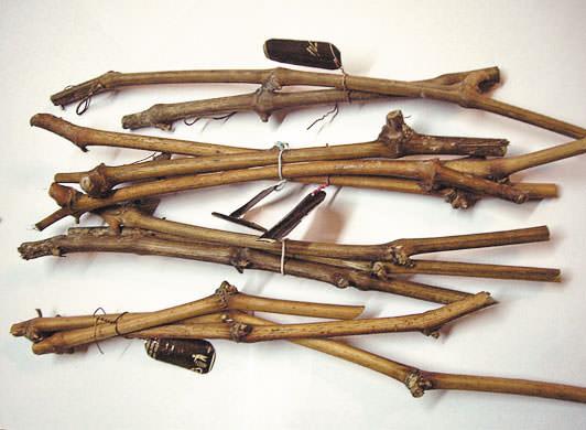 Качественные черенки получаются из средней части плодовой стрелки или ветви, обрезанной на сучок замещения