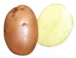 Картофель «Накра» проявил себя как весьма перспективный сорт