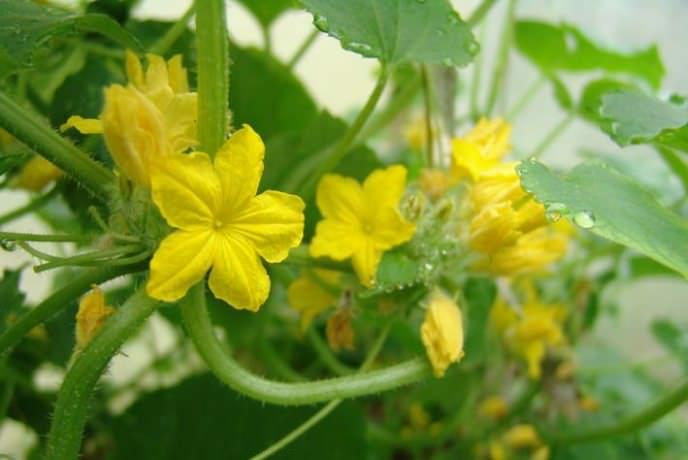 Партенокарпическа раннеспелая гибридная форма «Артист f1» женского типа цветения образует среднерослые кусты