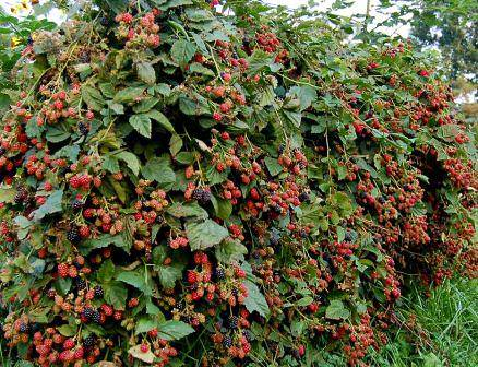 Созревание плодов ежевики