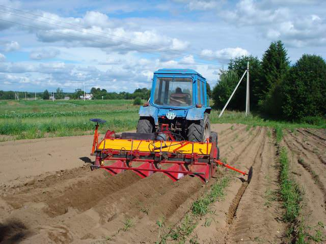 Картофель «Романце» показывает высокую урожайность при соблюдении технологии посадки