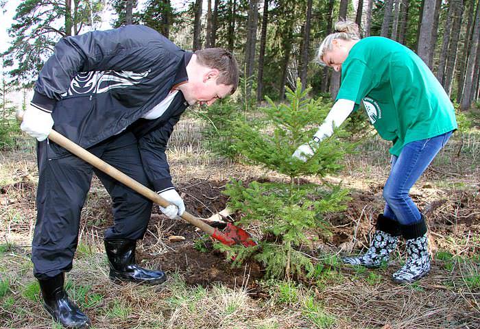 Выращивание обыкновенной ели начинается с посадки в грунт на правильно подобранном месте