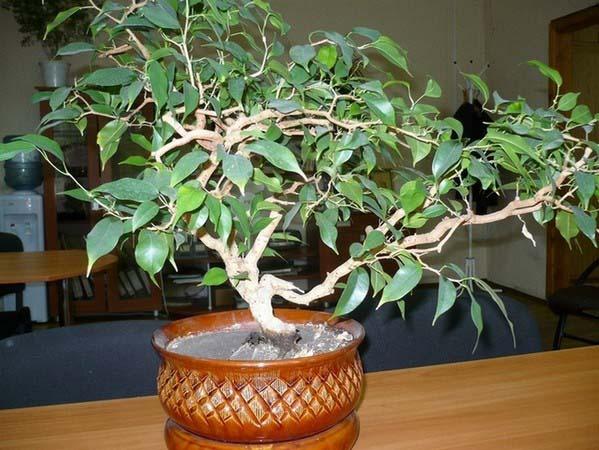 «Вианди» (Ficus Benjamina «Wiandi»